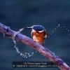 AAACHAN-H.W.-03441676-Kingfisher-C11-2013_2020WLC