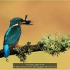 AAAHayes-Beverly-000000-Male-Kingfisher-with-Catch-2020_2020WLC