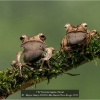 AAAHayes-Garry-000000-File-Eared-Tree-Frogs-2020_2020WLC