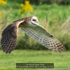 AAAKwan-Phillip-000000-Barn-Owl-Flying-28-2020_2020WLC