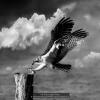 AAATran-Thuy-Phuong-000000-Osprey-Landing-2020_2020WLC