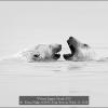 Kwan-Phillip-000000-Polar-Bear-in-Water-21-2018_2019WLC