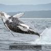 Watson-Graeme-000000-Breaching-Whale-1-2019_2019WLC