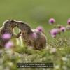 AAAFratini-Franco-043618-Young-marmots-2020_2020WLC