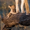 AAAHalvas-Nielsen-Herdis-000000-Lion-on-the-log-2-2020_2020WLC