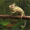 AAAHayes-Beverly-000000-Veiled-Chameleon-2020_2020WLC