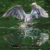 AAAKwan-Phillip-000000-Heron-Catch-Fish-33-2020_2020WLC