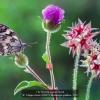 AAAMagini-Azelio-008625-Melanargia-galathea-2020_2020WLC