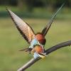AAANagy-Lajos-000000-Bee-eaters-in-love-04-2020_2020WLC