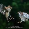 AAASchmitz-Willi-000000-Young-sparrow-s-2020_2020WLC