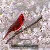 AAATran-Thuy-Phuong-000000-Red-Cardinal-2020_2020WLC