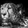 AAAHalvas-Nielsen-Herdis-000000-Cheetah-alerted-2020_2020WLC