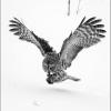 AAAKwan-Phillip-000000-Great-Gray-Owl-85-2020_2020WLC