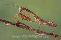sito00056A01_Robert-Turley-United-Kingdom-A-Nigerian-Preying-MantisCLP