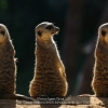 Catania-Gottfried-000000-Meerkats-on-the-Alert-2018_2019WLC