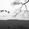 Synnevaag-Roald-000000-Ducks-in-Bergen-2018_2019WLC